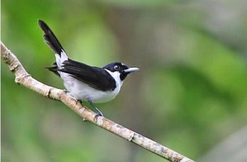 Emishad Me Burung Indonesia Hewan