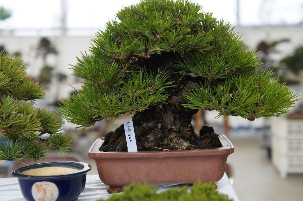 九霞園 naturellement bonsaï 盆栽 :: les petits