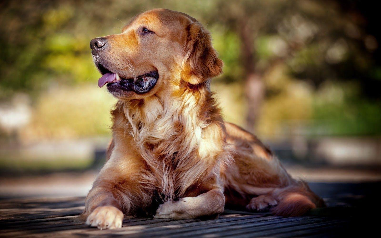 Golden Retriever Breed Profile Dogs Golden Retriever Golden