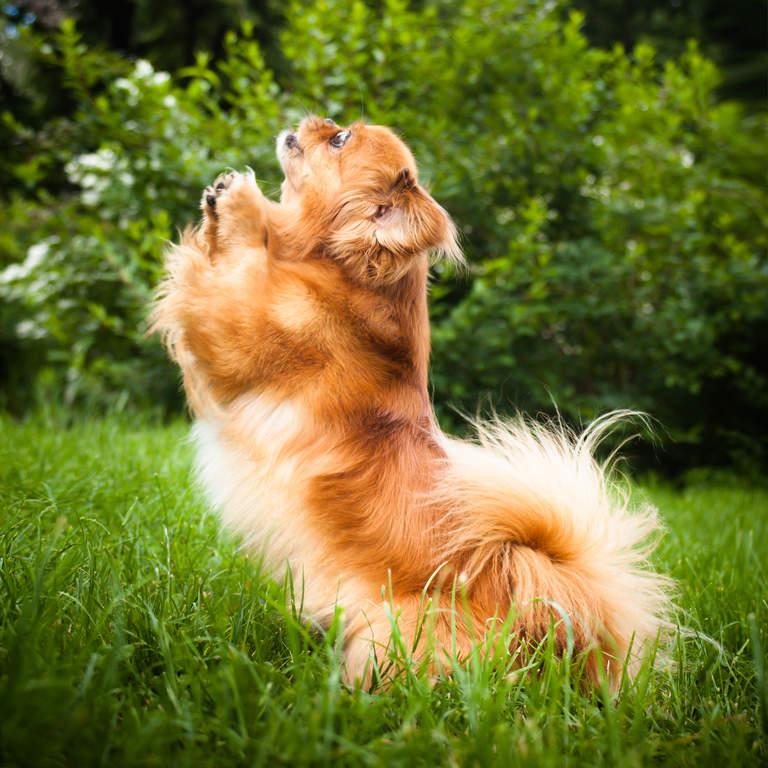 Pekingese dogs Google Search Dog breed info, Pekingese