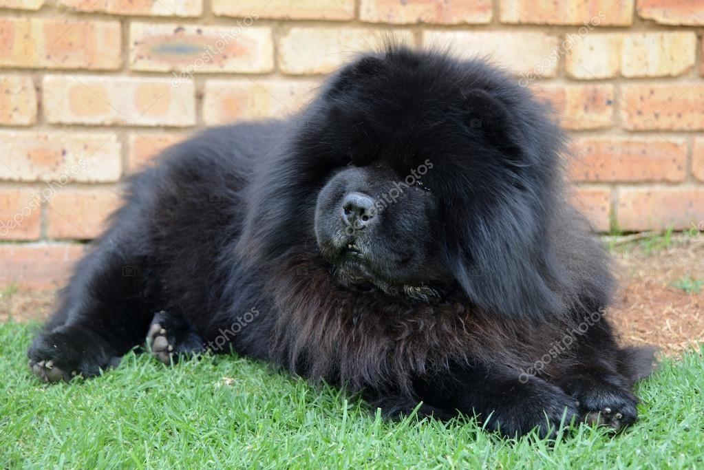 Hairy Black Dogs Chow Hairy Black Dog Stock Photo C Droux Zp5 Sr