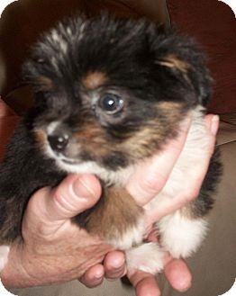 Washington Dc Shih Tzu Mix Meet Bono A Puppy For Adoption Http