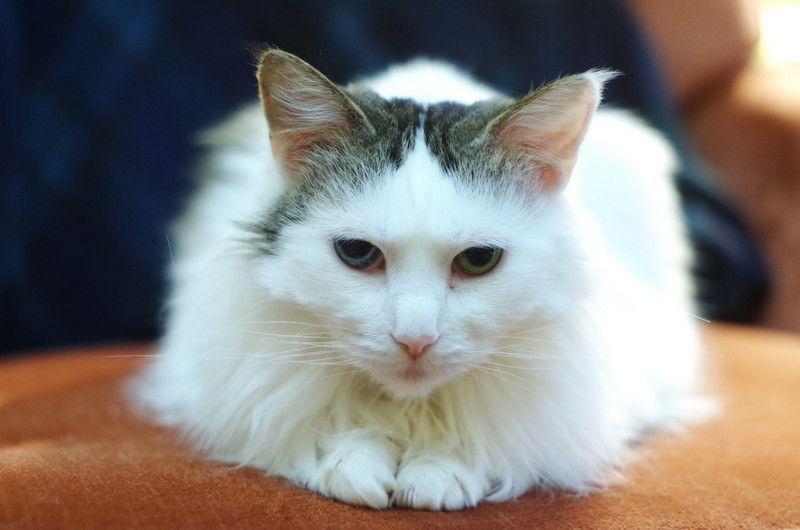 heterochroma cat | Turkish van cats, Animals, Cats