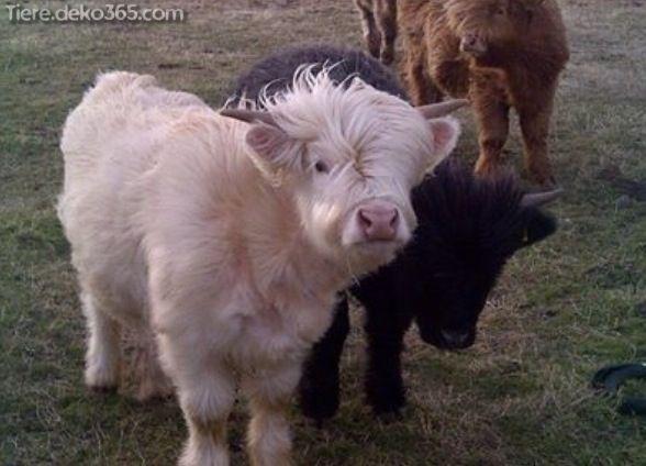 entzückende MinimalKuhFotos Süße kühe, Süßeste