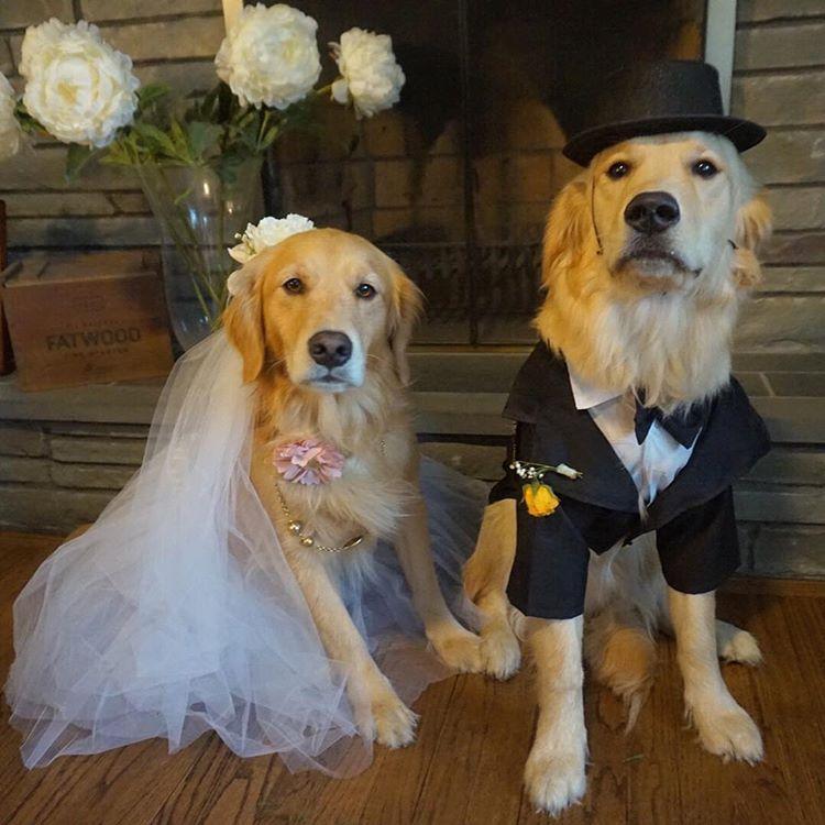 Bride And Groom Halloween Dog Costumes Golden Retriever