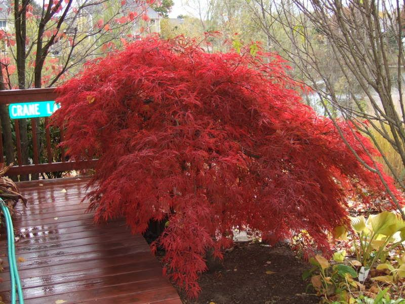 Crimson queen japanese maple amazing fall color dan - Decorative trees with red leaves amazing contrasts ...