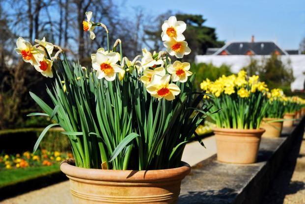 Narcyzy Cebule Sadzimy Na Poczatku Wrzesnia Types Of Flowers Narcissus Flower Flowers