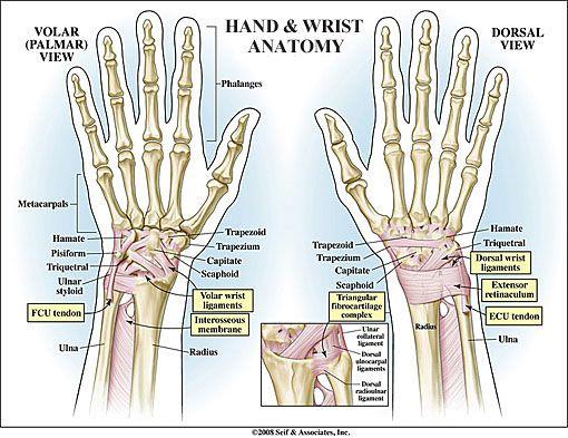 Hand and wrist anatomy volar view and dorsal view diagram | Anatomy ...