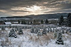 Local Christmas Trees Near Me