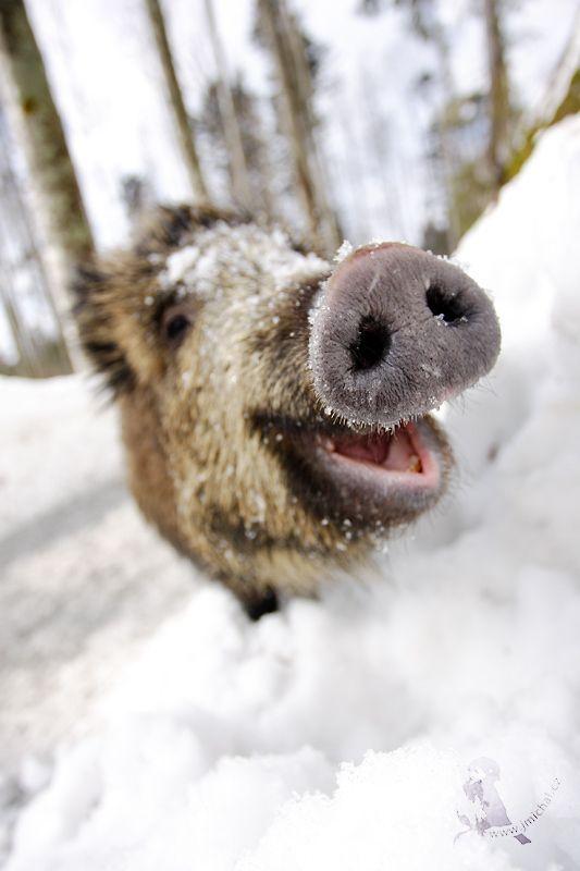 """Résultat de recherche d'images pour """"boar happy"""""""