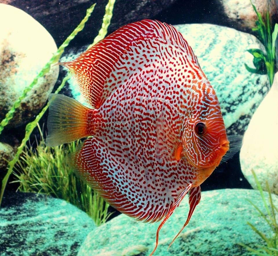 Pin by tarnvir saran on Cool fish | Pinterest | Discus, Aquariums ...
