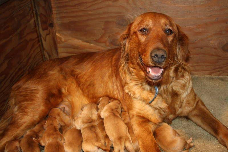 Dark Golden Retriever Puppies Go Dog Go Dark Golden Retriever