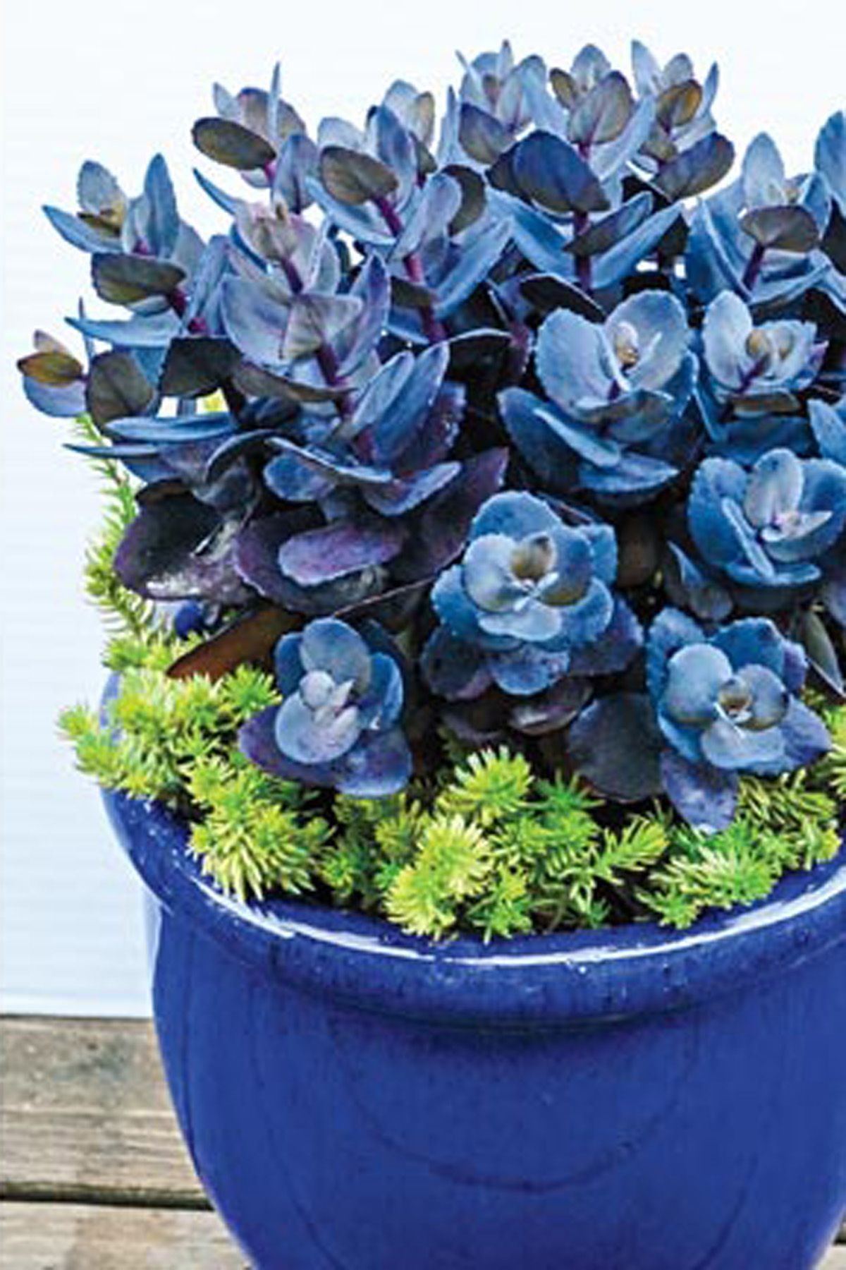 Blue pearl sedumscountryliving pink flowers flowering house plants easy house plants house plants