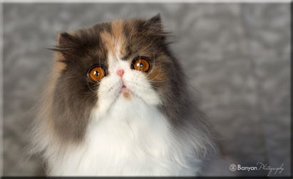 ^Windy Valley Persians Persian kittens, Cute cats and