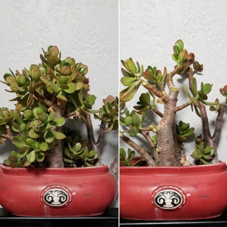 Jade Trim Jade Plants Plants Planter Pots