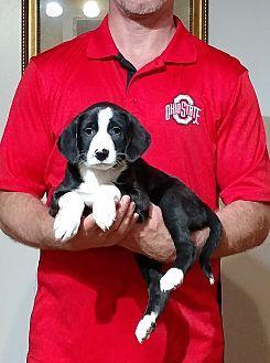 South Euclid Oh Border Collie Labrador Retriever Mix Meet Gunner A Puppy For Adoption Http Www Border Collie Border Collie Mix Puppy Adoption