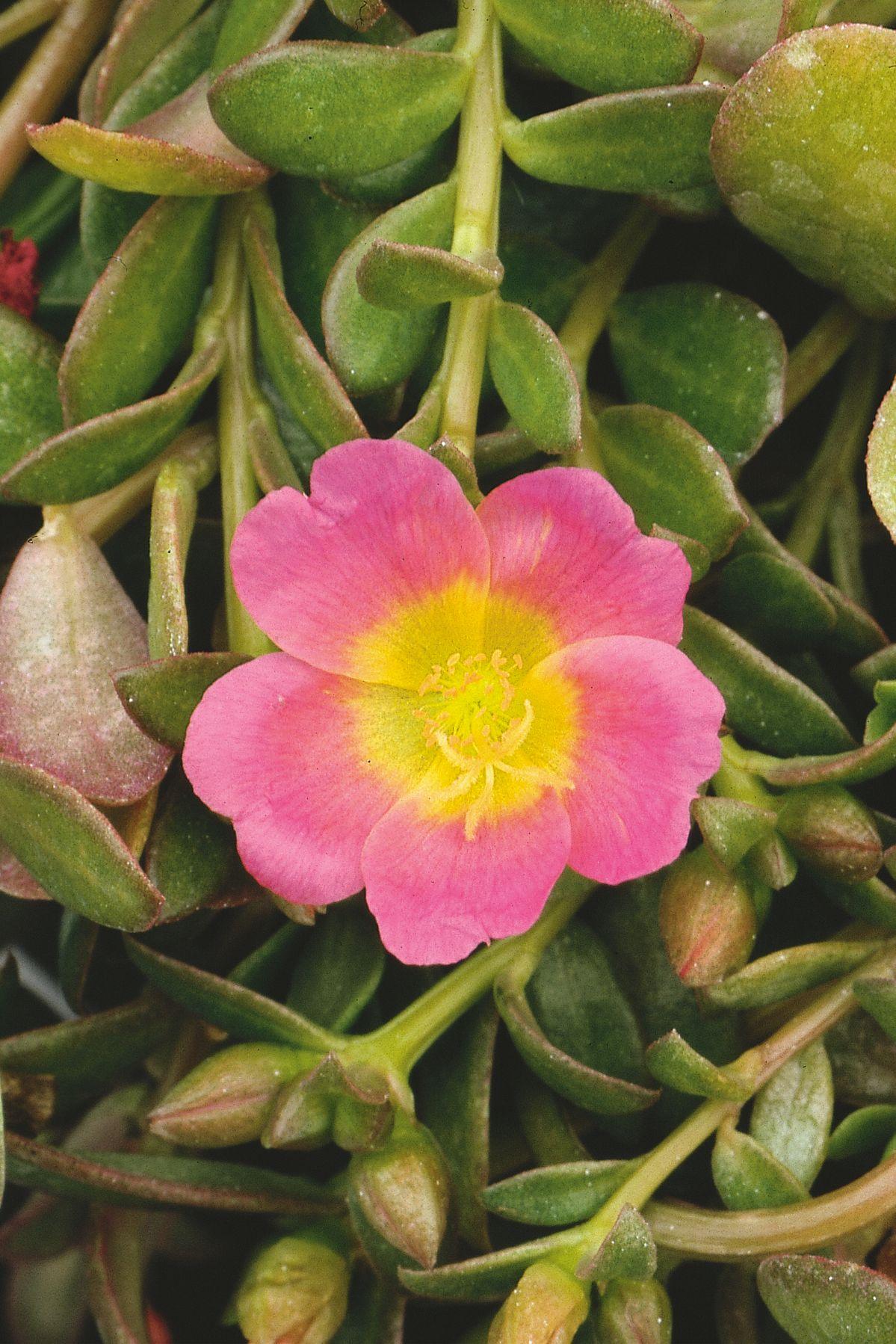 Mojave Pink Moss Rose Portulaca Grandiflora Garden Ideashome