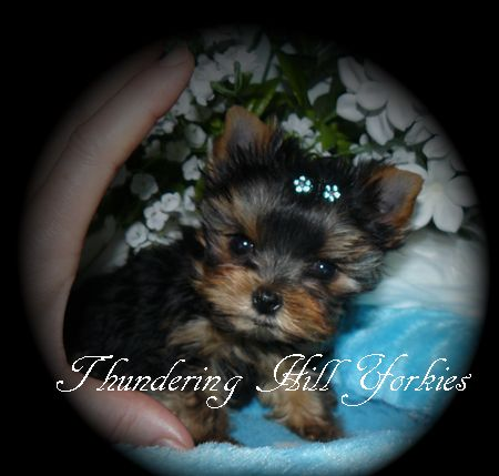 Yorkie Puppies For Sale B C Canada Teacup Yorkies For Sale Yorkie Puppy Yorkie Puppy For Sale Yorkie