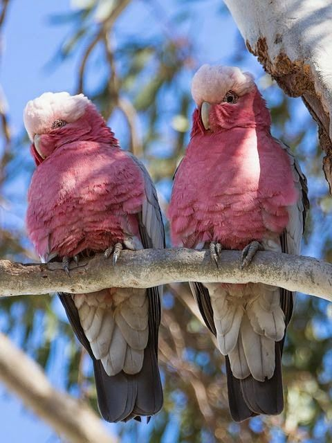 Galah Cockatoo, also known as the Rose-Breasted Cockatoo