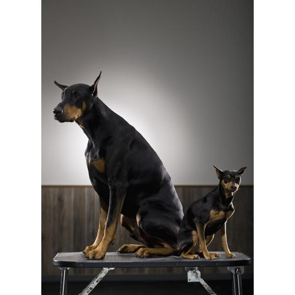 Doberman Pinscher Dobermans Are Working Dogs And Thrive On
