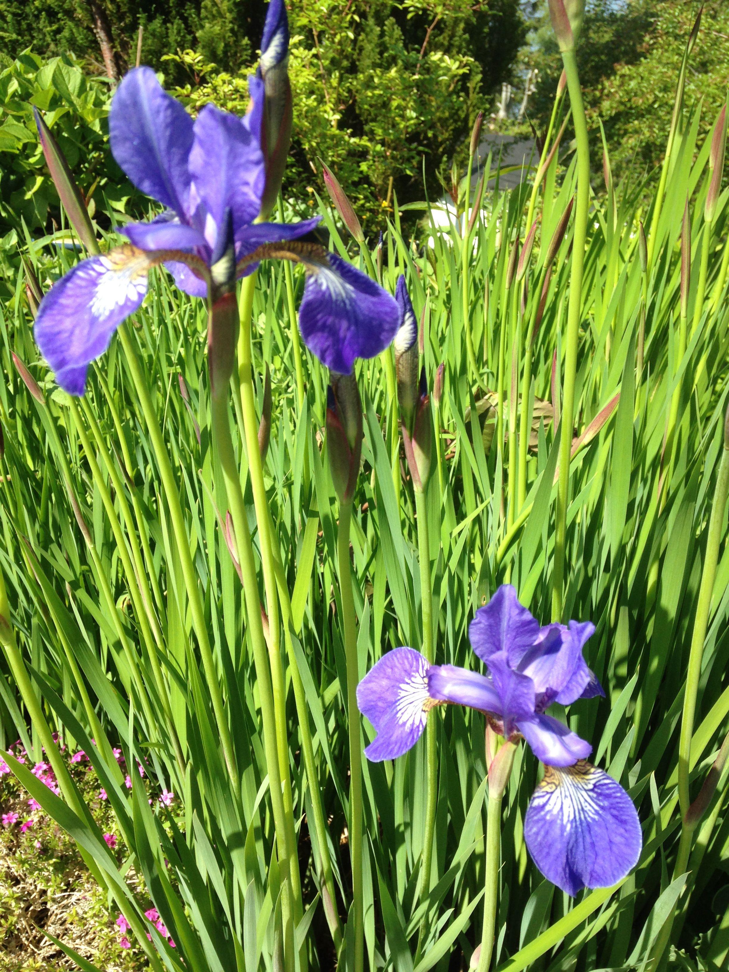Den blå irisen er tidlig i år - jeg setter så umåtelig stor pris på de første blomstene - da er det liksom sommer :) The blue iris has an early flowering this year - I just love the first flowers - now the summer is here!!  24.5.2014/IJ