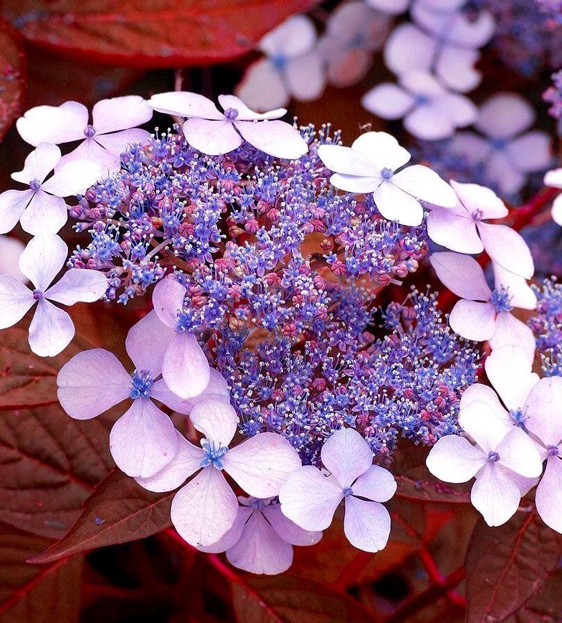 Natural Elements Hydrangea Serratta Indian Summer Hydrangea Serrata Pretty Flowers Love Flowers