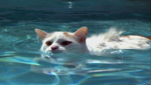 2764107bf7 Great video introduction on Cats 101  Turkish Van   Video   Animal Planet