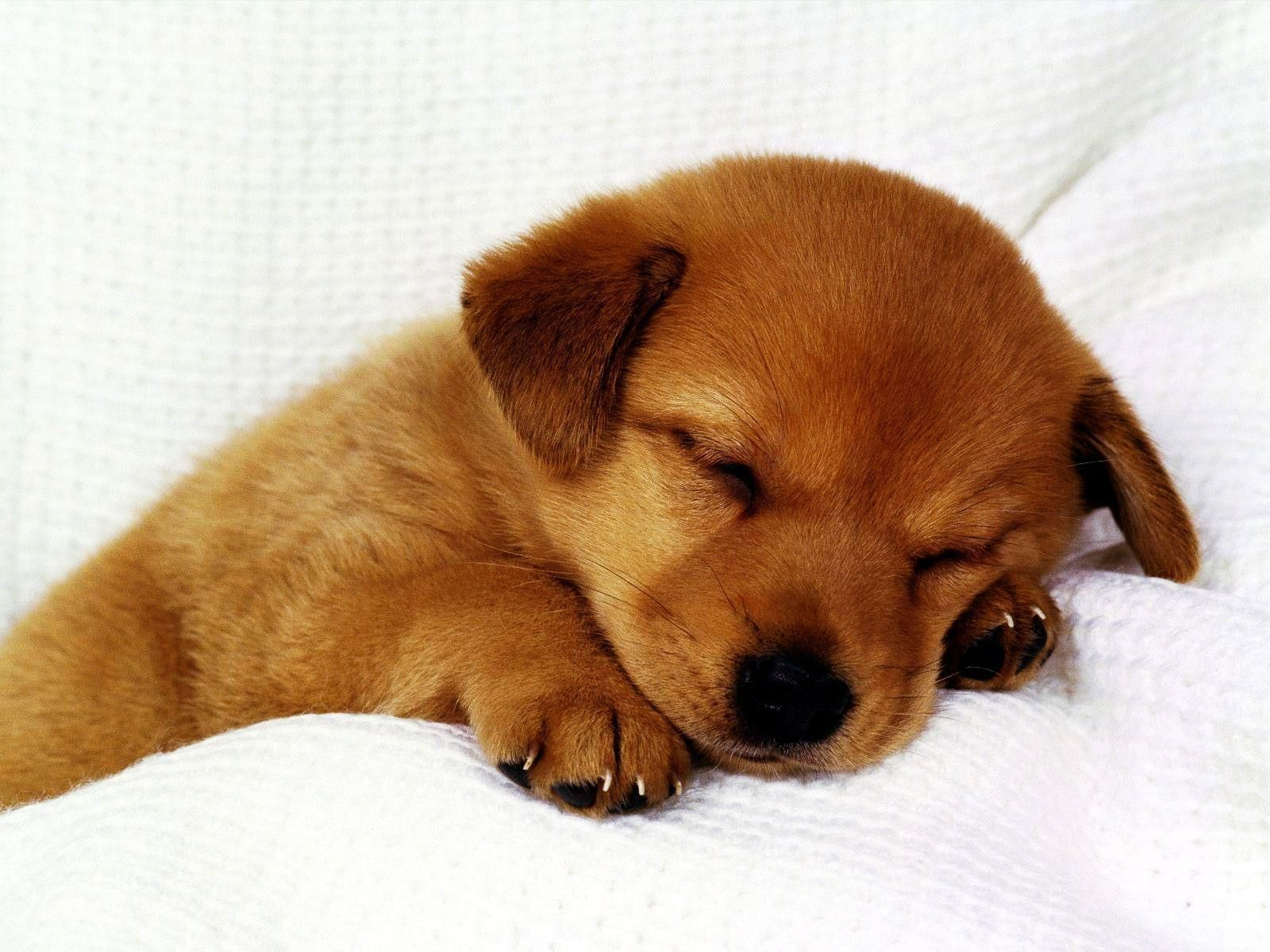 Cute Puppy Background Hd Puppy Backgrounds Cute Puppies Images Cute Puppies