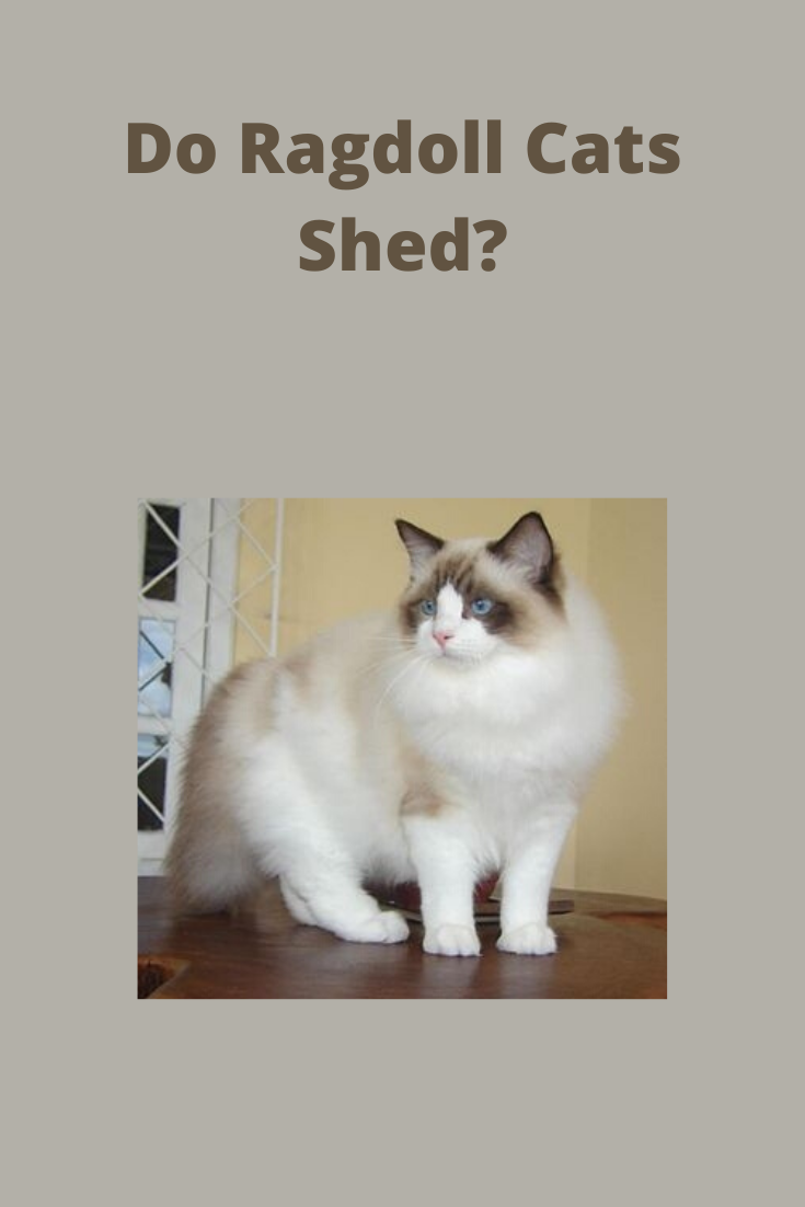 Do Ragdoll Cats Shed In 2020 Cats Cat Shedding Ragdoll Cat