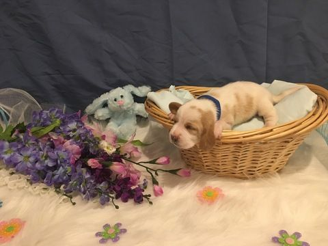 Basset Hound Puppy For Sale In Taylors Sc Adn 28960 On Puppyfinder