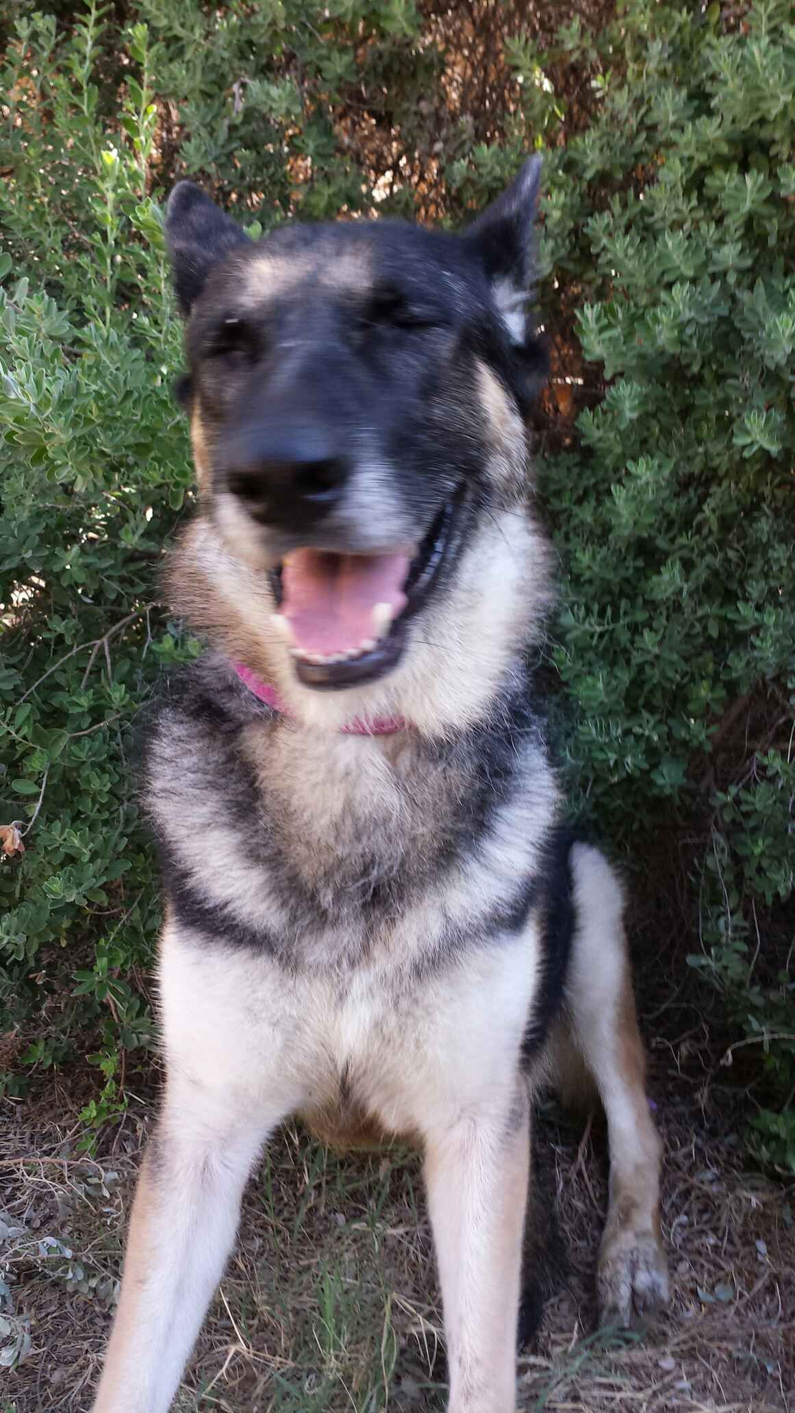German Shepherd Dog dog for Adoption in San Antonio, TX