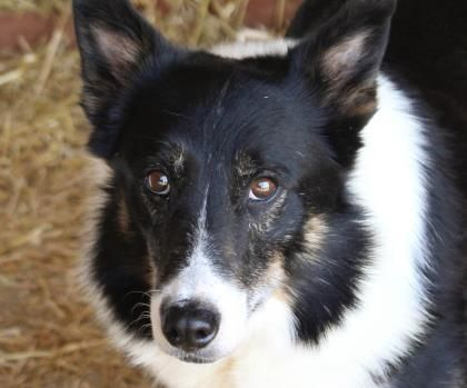 Petango Com Meet Gabe A 7 Years Border Collie Mix Available For Adoption In Colorado Springs Co Pets Service Animal Dog Adoption