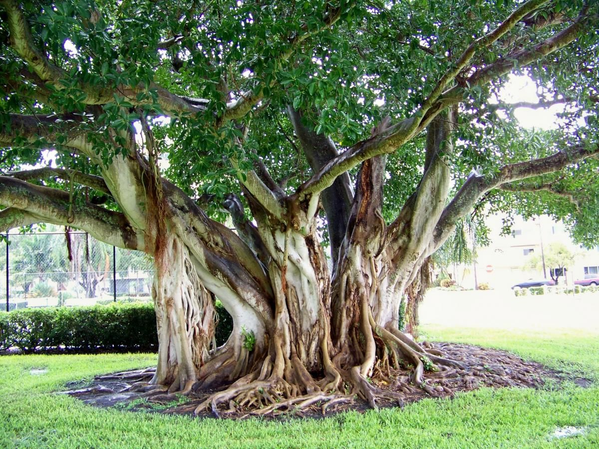 This Is A Native Tree And One Of The Largest Strangler Figs I Have Ever Seen
