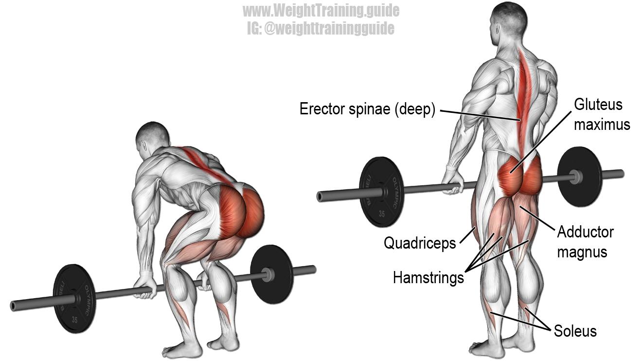 Barbell deadlift exercise illustration full body pinterest barbell deadlift exercise illustration falaconquin