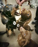 """""""breeder"""" in Japan locked up 140 dogs, some starved to death and many have ribs protruding from lack of nutrition. And people still think buying from a breeder is ok.  Many still awaiting adoptive families."""