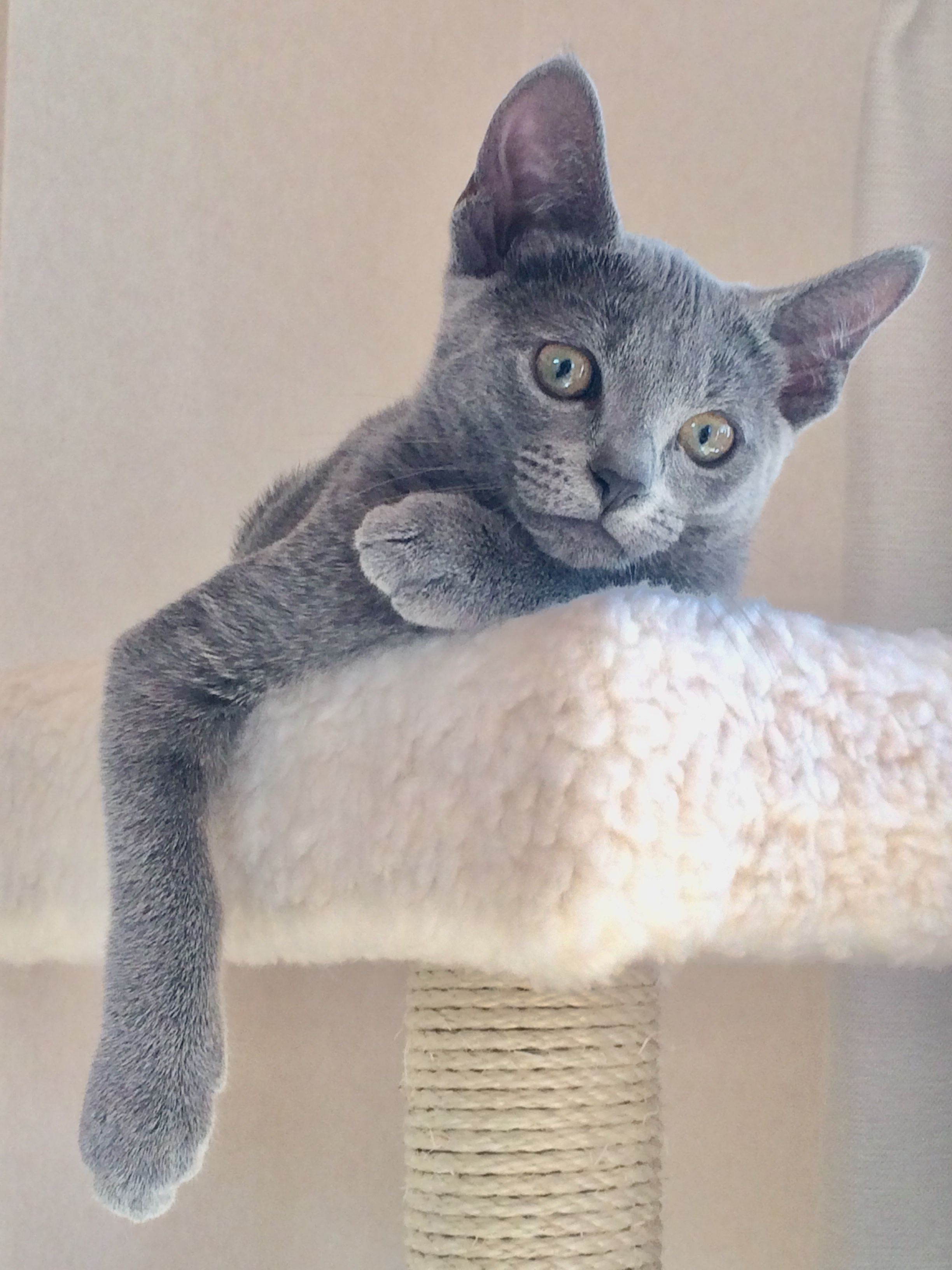 Pin By Danielle Woolley On Russian Blues Russian Blue Cats Fluffy