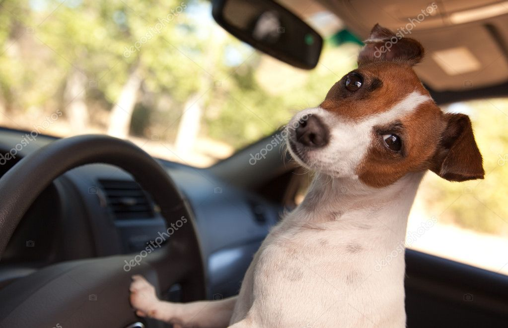 Jack russell terrier dog driving a car stock photo ad