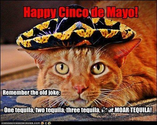 Rockin The Sombrero Cinco De Mayo Cute Cats Buy A Cat