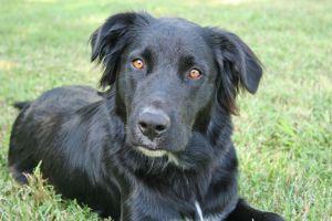 Adopt max on Petfinder | Retriever dog, Retriever mix ...