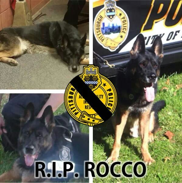 Rocco The Pittsburgh Police Dog Who Was Injured In The Line Of Duty Has Died Rip Rocco Police Dogs