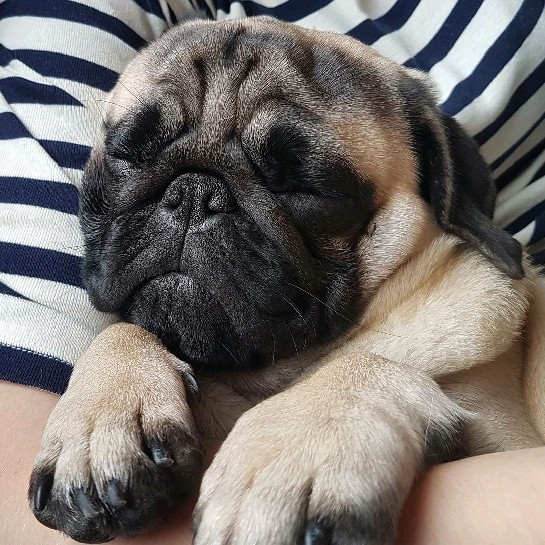 Smooosh Pugs Cute Pugs Baby Pugs