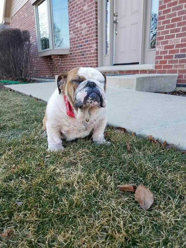 Adopt Denzel Pawshington On Bulldog Rescue Dogs All Dogs