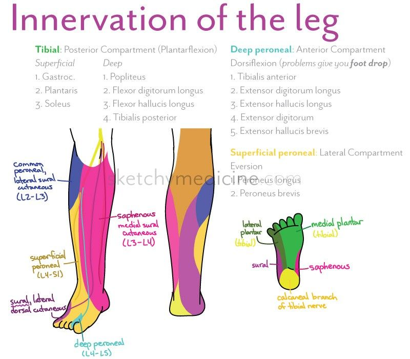 leg_innervation very useful rightnow!! | medicine and surgery, Muscles