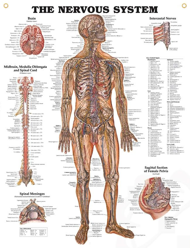 The Nervous System Chart 20x26 Spinal Cord Nervous System And Anatomy