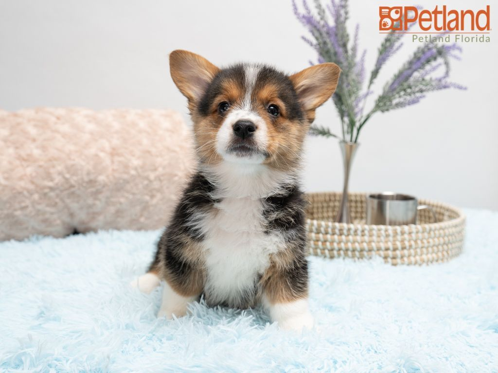 Puppies For Sale Corgi Puppies For Sale Welsh Corgi Puppies Pembroke Welsh Corgi Puppies