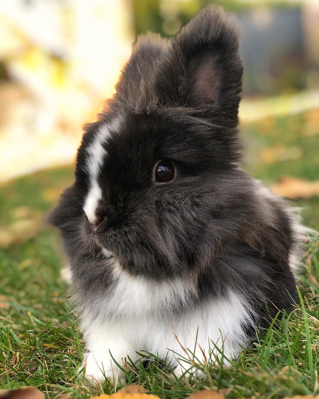 Baby lionhead bunny cute little animals bunny cages