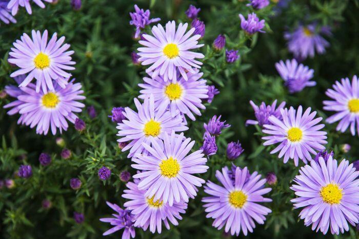 Aster For Raw Girl Area Aster Flower Flower Meanings Summer Flowers