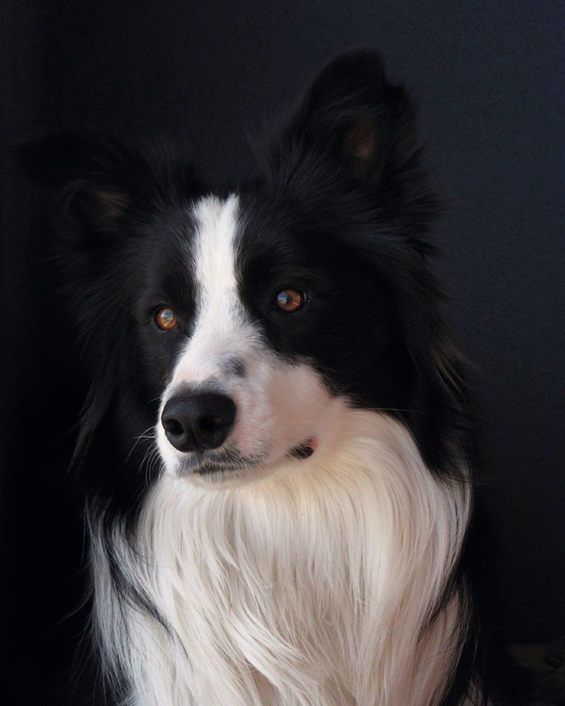 My Sweetest Puppy Turbo You Ve Been Gone For Three Years Now But You Are Always On My Mind Mi Precioso Turb Most Beautiful Dogs Beautiful Dogs Collie Dog