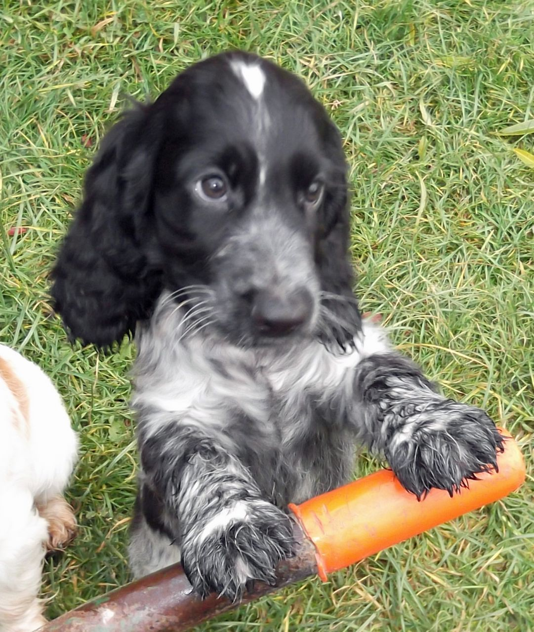 Pin on cocker spaniels