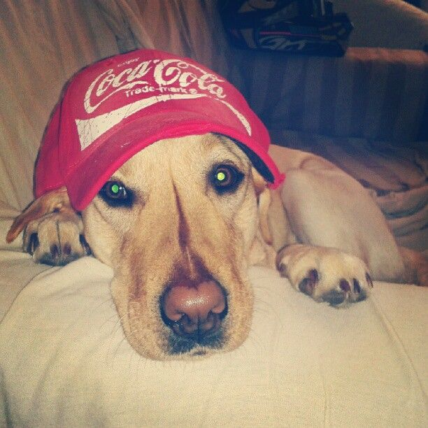 #Kali #labrador #dog #coke #cap #merchandising #mydog